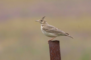 Crested Lark by John Harding