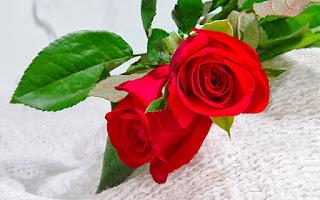 Gambar Bunga Mawar Merah Yang Cantik_Red Roses Flower 2000
