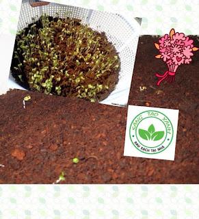 Cách trồng rau mầm sạch bằng mùn cưa tại nhà