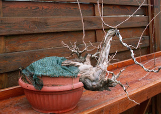 Prunus mahaleb, yamadori, bonsai, dead wood