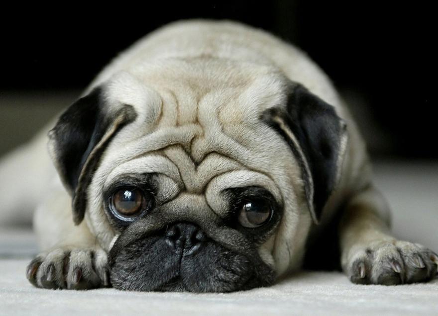 The Pug Breed Profile Australian Dog Lover