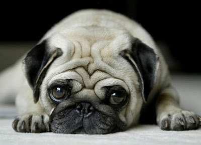 Sad-Pug-with-head-on-floor