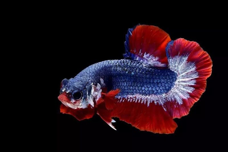 Image Things You Won't Like About Feed Bettas and Things You Will