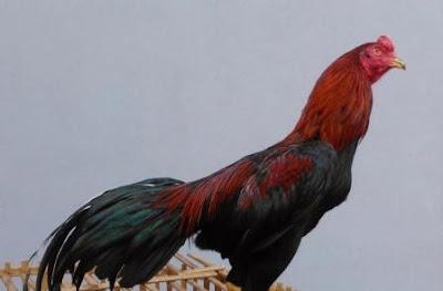 Ciri-Ciri Ayam Petarung (Bangkok) yang Baik
