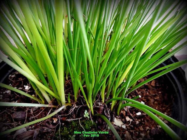 Folhas finas e compridas