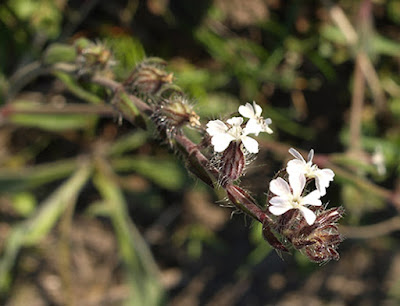 Carmelitilla (Silene gallica)