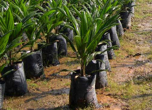 oil palm planting material