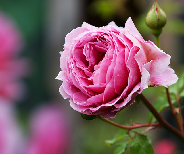 beautiful rose images hd