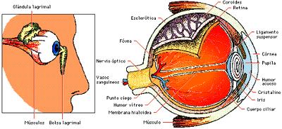 Imagen del ojo señalando sus partes a color
