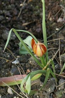 Tulipa orphanidea - Tulipa whittallii