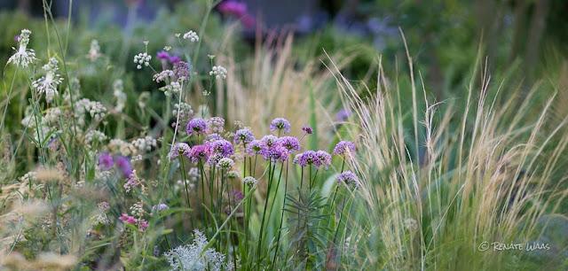 Allium in vielen Arten und Sorten schmücken die Beete von Mai bis August