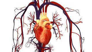 Blood circulation and its importance