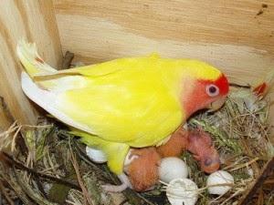 Penetasan telur