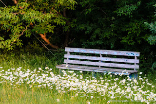Bench with Oxeye Daisies. Copyright © Shelley Banks, all rights reserved