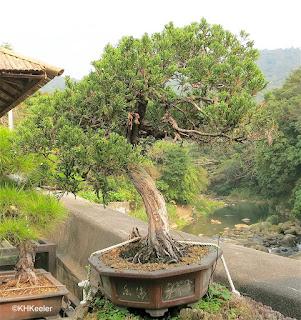 bonsai, Taiwan