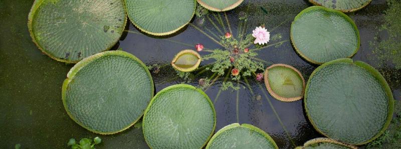 plantas acuáticas Victoria amazonica en flor
