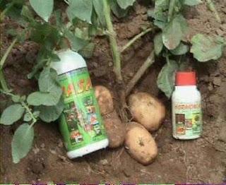 tanaman kentang dengan produknasa, poc dan hormonik untuk penyemprotan, pestisida nasa, glio petana pestona BVR mencegah hama penyakit pada tanaman
