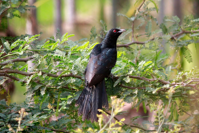 Asian koel(39–46 cm) Male - Davangere
