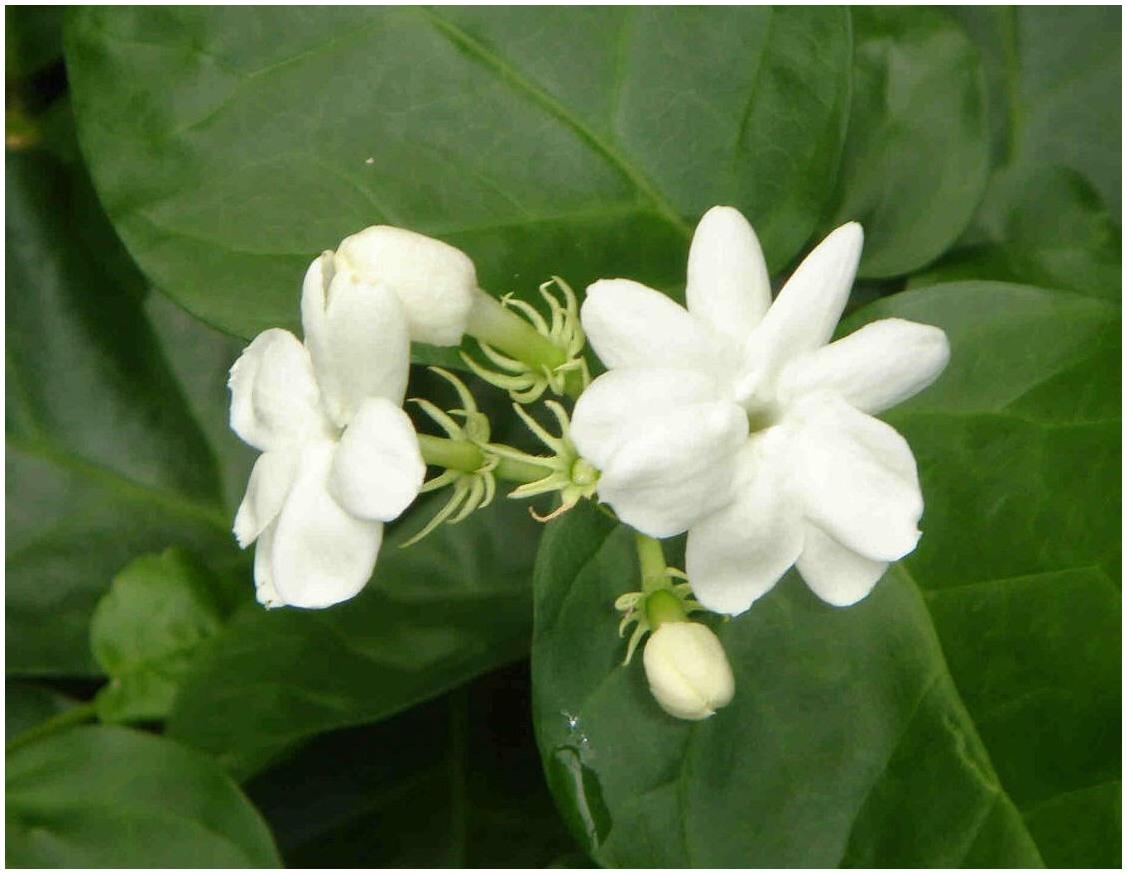 Manfaat Bunga Melati Bagi Kecantikan