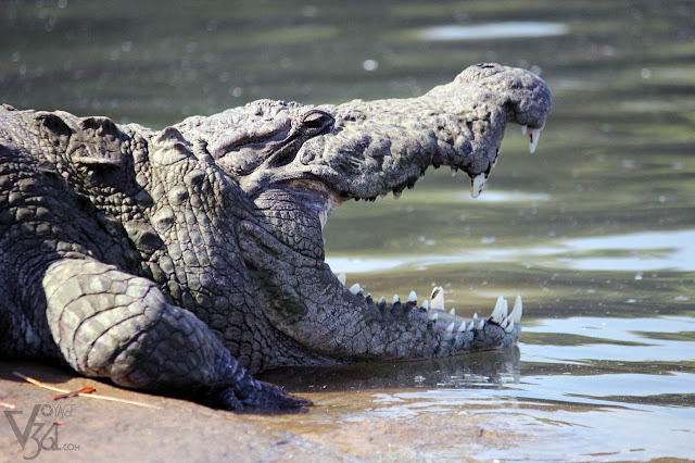 Marsh Crocodile at Kaveri river, Ranganathittu