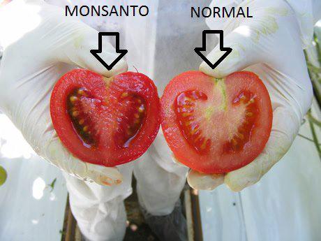 Pomodoro OGM vs Pomodoro selvatico