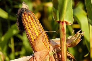 Kolba żółtej kukurydzy