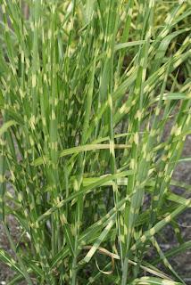 Miscanthus sinensis 'Zebrinus' - Roseau de Chine - Eulalie - Miscanthus de Chine
