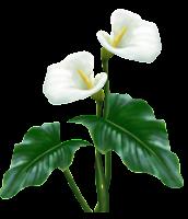 copo de leite flor em png