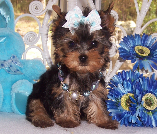different yorkie breeds all list of different dogs breeds yorkie dogs small dog 8443