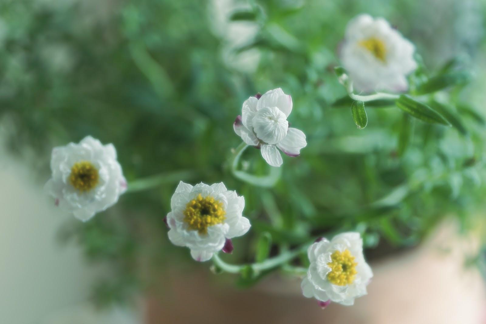 窓際に咲いた白くて小さな花