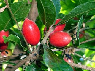 bibit-miracle-fruit-fruit.jpg