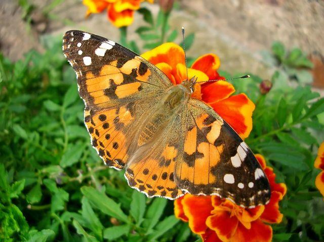 kwiaty i motyle, aksamitka. zapylanie