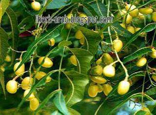 شجرة النيم علاج اكزيما