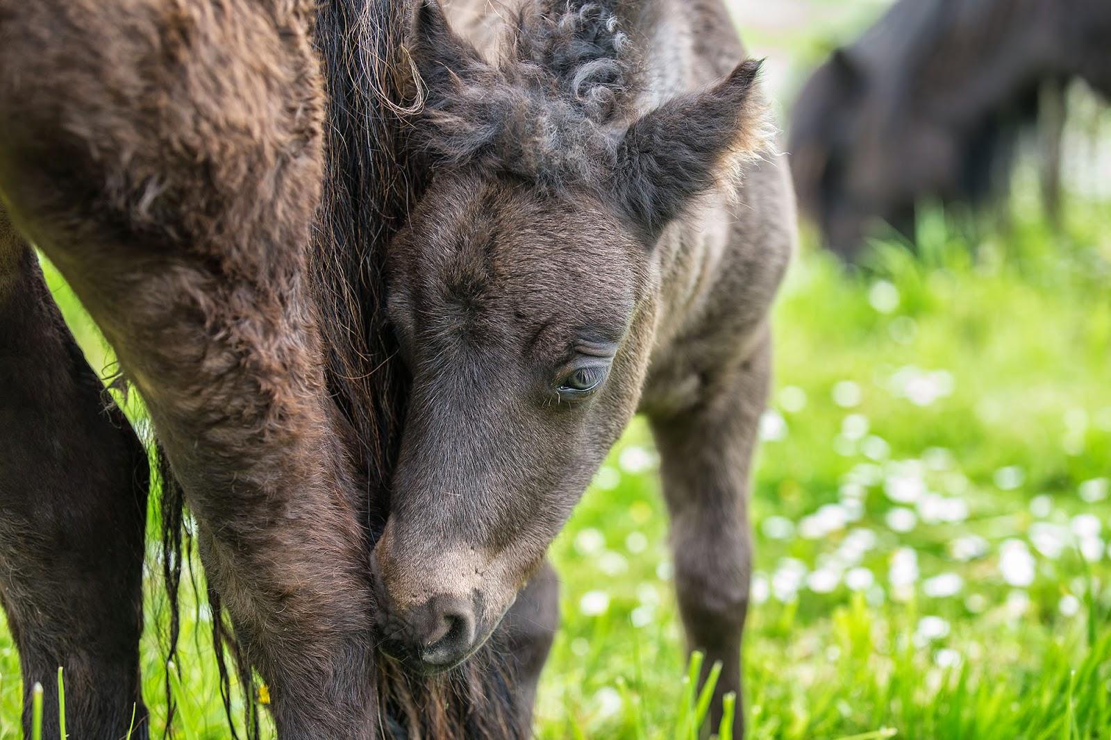 Shetland Ponies, UK