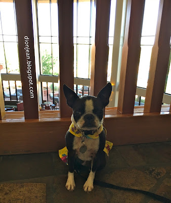 Sinead the Boston terrier in the lobby