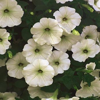 Piante e fiori petunia for Petunie perenni