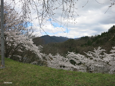 flowering cheries, Tendo City, Japan