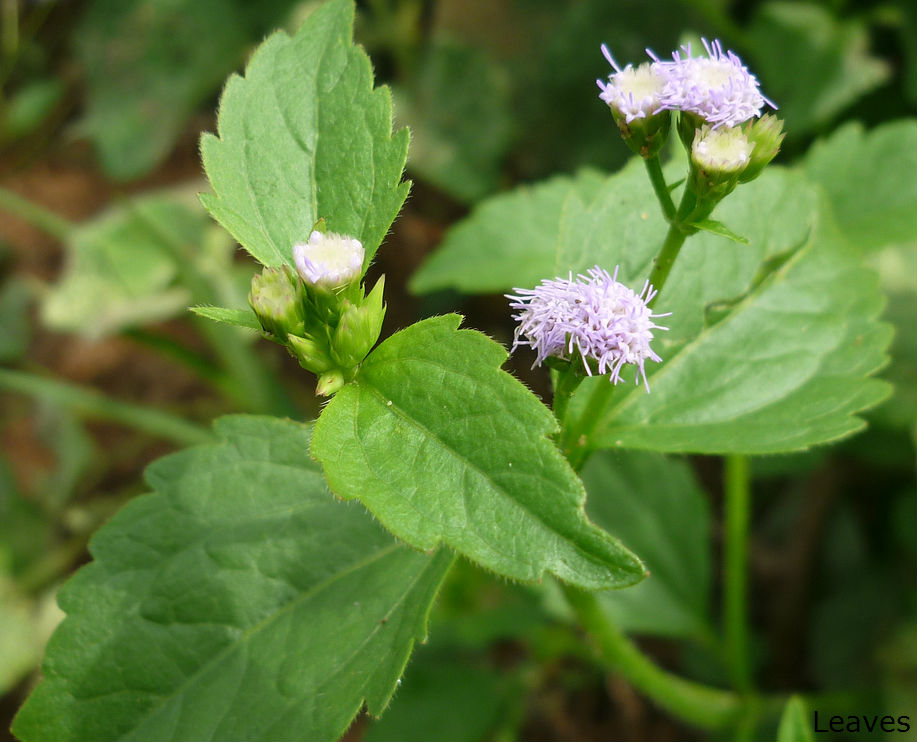 Hulantala Ageratum conyzoides Herbal plants Sri Lanka