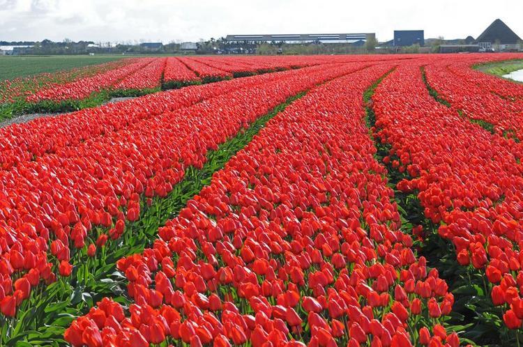 Tulip 'Lalibela'