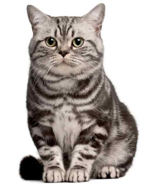 Brazilian Shorthair Cat Breed
