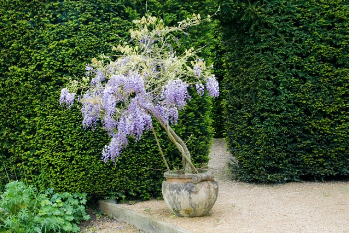 se puede cultivar una glicinia en maceta guia de jardin