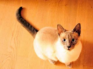 gato sobre un piso flotante de madera