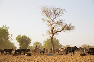 Buhari's farm 4