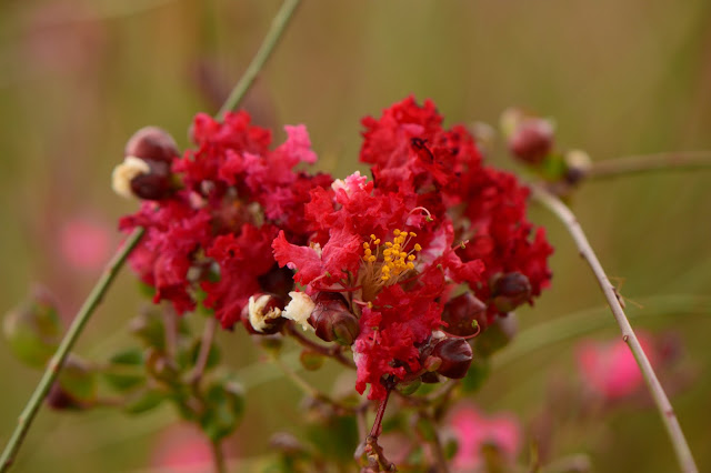 Gaura, oenothera, lindheimeri, pink, small sunny garden, amy myers, photography, desert garden, summer bloom, august, lagerstroemia indica, dynamite, crape myrtle, crepe myrtle