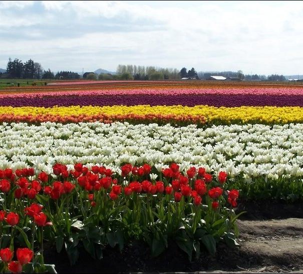 مزارع الزهور image025-774428.jpg