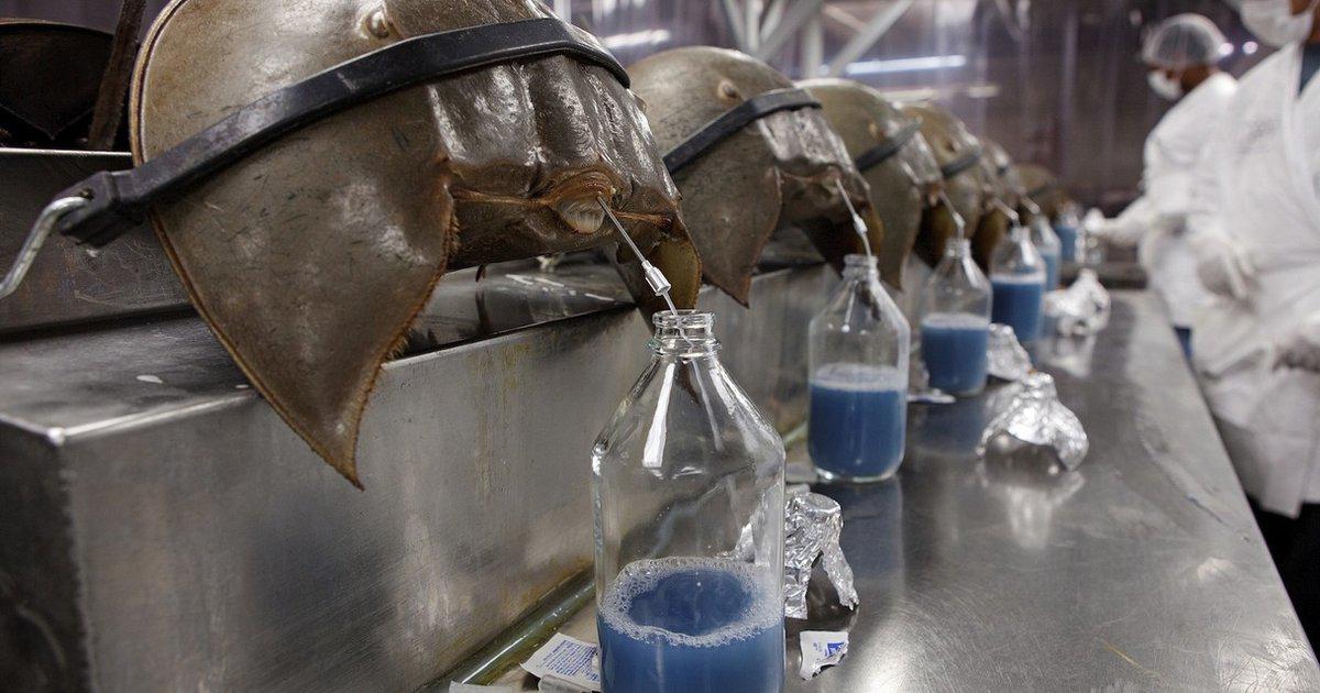 Kepiting ini donor darah dan sehat manis