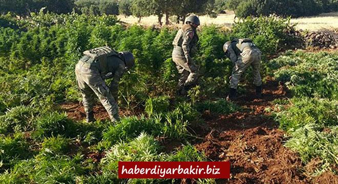 Diyarbakır'ın Lice Hani ve Dicle ilçelerinde 16 bin kök keneviri ele geçirildi
