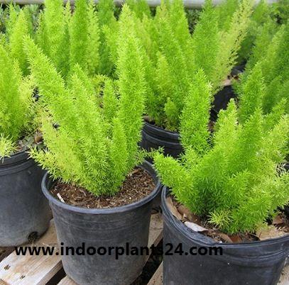 Sprengeri' Liliaceae ASPARAGUS FERN plant image