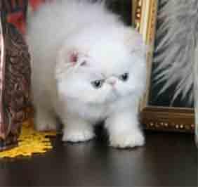 5 Jenis Kucing Persia Dan Cara Merawat Kucing Persia
