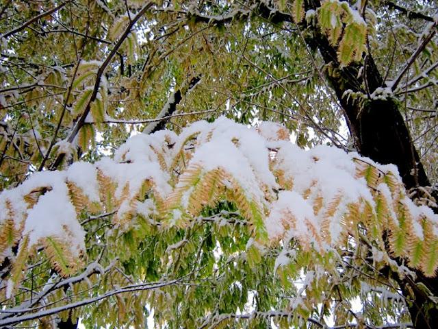 雪とアケボノスギの紅葉